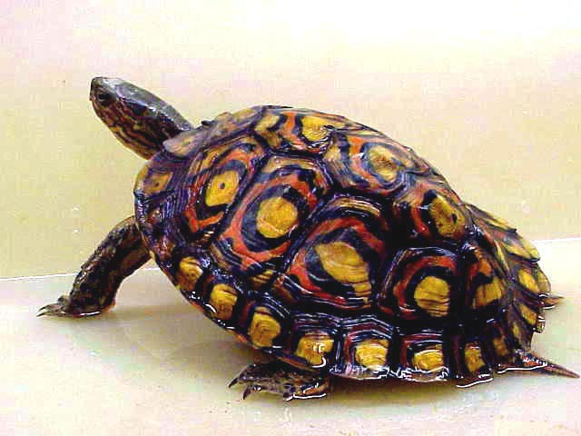 Wood Turtle - Central American picture