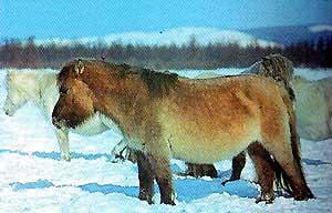 Yakut picture