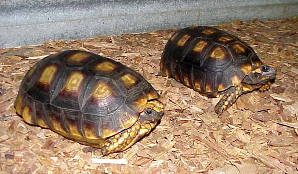 Yellow Foot Tortoise  picture